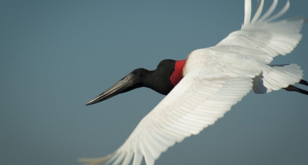 Jabiru flying.