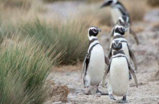 Magellanic Penguin (Spheniscus magellanicus) in Patagonia.