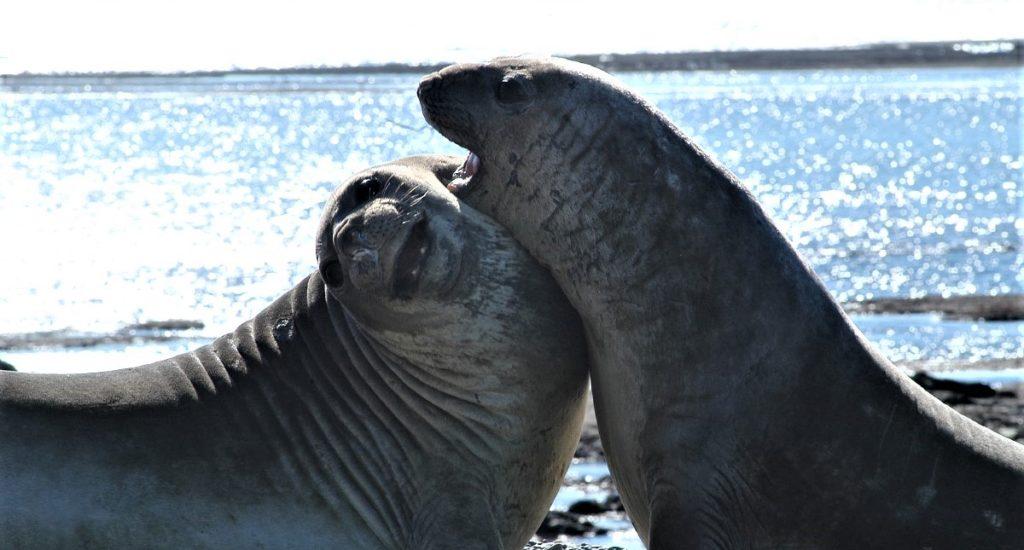 Valdes & SLorenzo - Elephant seals - Attipica (Dhruv)